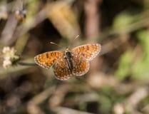 Knapweed fritillary butterfly stock photo