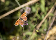 Knapweed fritillary butterfly royalty free stock image