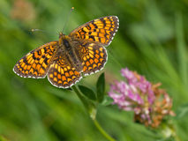 Knapweed fritillary (Melitaea phoebe) Royalty Free Stock Images