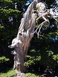 Knarled和扭转的树 库存图片