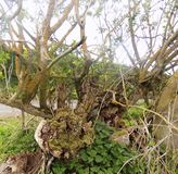 Knarled-Baumaste, Crookham, Northumberland Großbritannien Stockbild