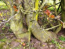 Knarled trädstubbar, Crookham, Northumberland UK Arkivfoto