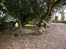 Knarled tree at St Mary's Parish Church and  Schoolhouse in Nether Alderley Cheshire. Royalty Free Stock Photography