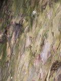 Knarledboom bij St Mary's Parochiekerk en Schoolgebouw in Onder- Alderley Cheshire Stock Foto