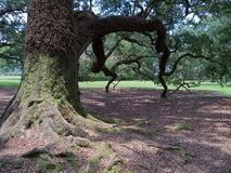 Knarly-Baum Stockfotos