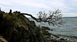 Knarly tree struggling to survive on edge of rock cliff. Tree growing out of rock blown by wind and laying sideways at the Georgia Strait on the Pacific ocean in royalty free stock photo