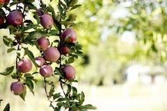 Knastra äpplet royaltyfria bilder