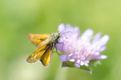 Knautia arvensis多年生植物 精制的淡紫色象大型机关炮的花绽放 与橙色翼的蝴蝶哺养花花粉 免版税图库摄影