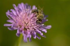 Knautia arvensis and a bee stock photos