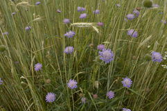Knautia arvensis. Scabious, blue and purple meadow flower Stock Images