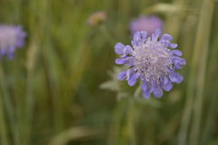 Knautia arvensis. Scabious, blue and purple meadow flower Stock Photo