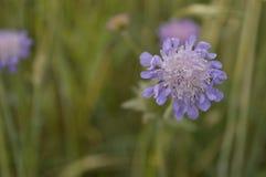 Knautia arvensis. Scabious, blue and purple meadow flower stock photo