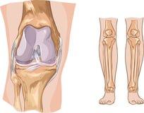Knee. Joint anatomy illustration Stock Photo