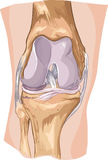 Knee. Joint anatomy labeled Stock Photo