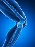 Knee anatomy Royalty Free Stock Photography