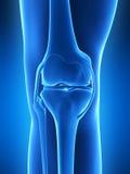 Knee anatomy Royalty Free Stock Image