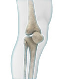 Knee Anatomy Stock Photography