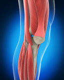 Knee Anatomy Stock Photo