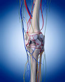 The knee anatomy. Medically accurate illustration of the knee anatomy Stock Images