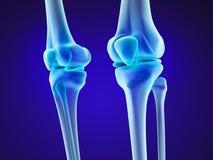 Knee anatomy. Xray view. Stock Image