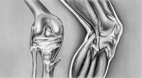 Knee - Bones, Ligaments & Muscles. The bony view left shows the femur, cut edge of the synovial capsule, meniscus, fibula, tibia, patella, anterior cruciate Royalty Free Stock Photo