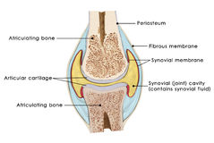Knee bursae Stock Photo