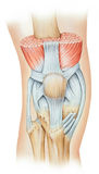 Knee - Extensor Mechanism. The knee extensor mechanism, which consists of the quadriceps muscle group rectus femoris, vastus intermedius, and vastus medialis Royalty Free Stock Images