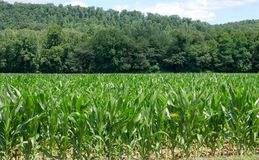 Knee High Fourth Of July Royalty Free Stock Photo