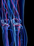 The knee. The human vascular system - the knee Royalty Free Stock Photo