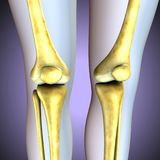 3d illustration. human knee bones skeletal system. The knee joins the thigh with the leg and consists of two joints: one between the femur and tibia memorability Royalty Free Stock Photo