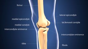 3d illustration of skeleton keen joint bone anatomy. The knee joins the thigh with the leg and consists of two joints: one between the femur and tibia stock illustration