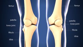 3d illustration of skeleton keen joint bone anatomy. The knee joins the thigh with the leg and consists of two joints: one between the femur and tibia royalty free illustration