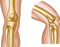 Human knee illustration  Stock Image