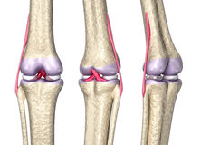 Knee joint anatomy Stock Photo