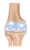 Knee Joint Diagram Stock Photo