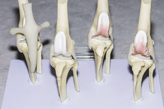 Knee Joint Display Royalty Free Stock Photos