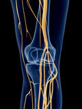 The knee nerves. Medically accurate illustration of the knee nerves Royalty Free Stock Photography