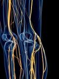 The knee nerves vector illustration