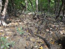 Knee roots in mangrove forests along Miyara river in Ishigaki, Okinawa. Okinawa,Japan-June 2, 2019: Knee roots in mangrove forests along Miyara river in Ishigaki royalty free stock image