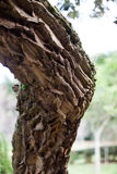 Knee shaped tree Royalty Free Stock Image
