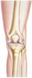 Knee - Showing Bones and Joints. Normal human anatomy of a knee, front view. Shown are the femur, patella, lateral and medial femora! condyles, fibula, and tibia stock photos