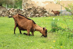 Kneeing brown goat Stock Images