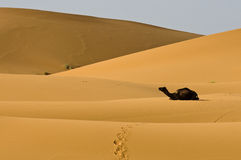 Kneeing camel in desert dunes Royalty Free Stock Image