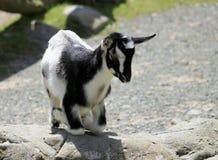 Kneeling Black & White Kid Goat. Black & White Kid Goat kneeling on a rock Royalty Free Stock Photography