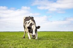 Free Kneeling Cow Or Rising Up Cow,  Knees In The Grass, Black And White Frisian Holstein In A Pasture With A Faraway Straight Horizon Stock Images - 217709814