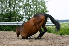 Kneeling horse. A horse kneeling in the sand to lay down to roll stock image