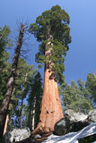 Kneeling under the Sequoia Stock Image