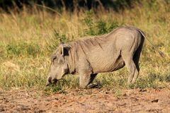 Kneeling warthog Royalty Free Stock Photography