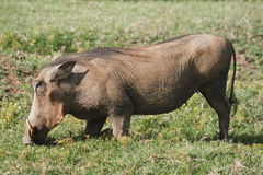 Kneeling Warthog Royalty Free Stock Image