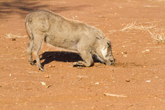 Kneeling Warthog. Common Warthogs Phacochoerus africanus kneel on their front knees as they search for food in the ground stock photo